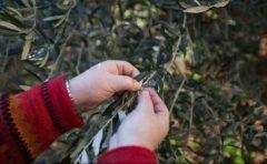 Bacteria ucigașă a măslinilor amenință Spania