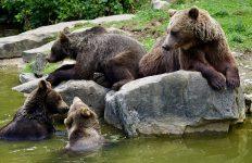 De ce are nevoie România pentru gestionarea problemei urşilor