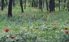 Dolj: Circa 10.000 de persoane, la sărbătoarea bujorului din Pădurea Plenița