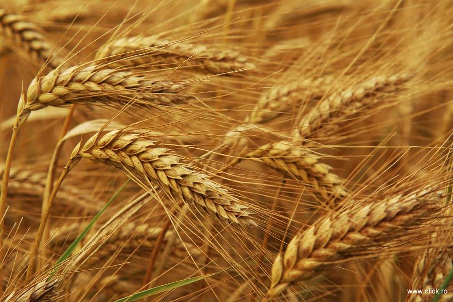 Exportatorii de grâu din statele baltice și regiunea Mării Negre îi concurează puternic pe cei din Occident
