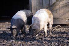 Patronul celei mai mari ferme de porci din România, unde s-a confirmat pesta, cere evaluarea pagubelor (Brăila)