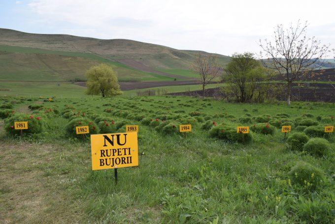 România: Bujorii de stepă de la Zau de Câmpie, singurul loc din Europa unde au supravieţuit