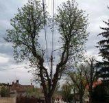 Sibiu: Castanul cu coroana în formă de inimă, viral pe Internet, atracția trecătorilor și în acest an