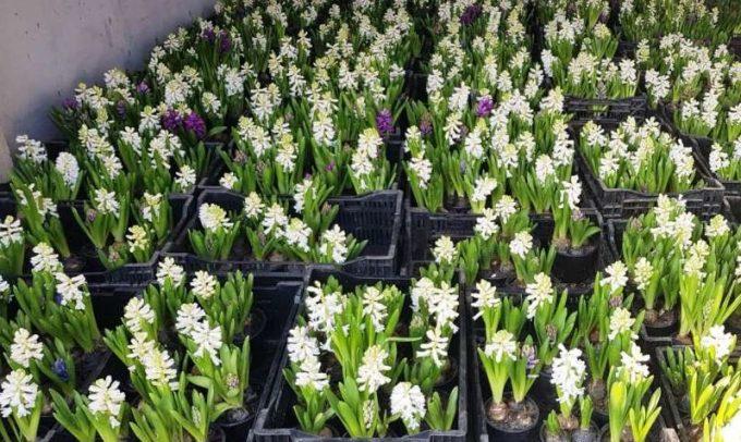 Un arădean de 91 de ani are peste 100.000 de flori pregătite de Mărţişor, prin afacerea familiei din 1921