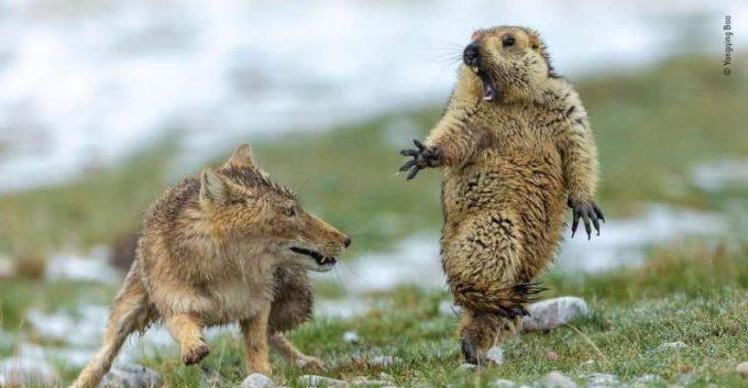 Un instantaneu înfăţişând confruntarea dramatică dintre o vulpe şi o marmotă, câştigător al Wildlife Photographer of the Year 2019