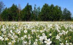 Bistrița-Năsăud: Poiana cu narcise din Munții Rodnei, în straie de sărbătoare