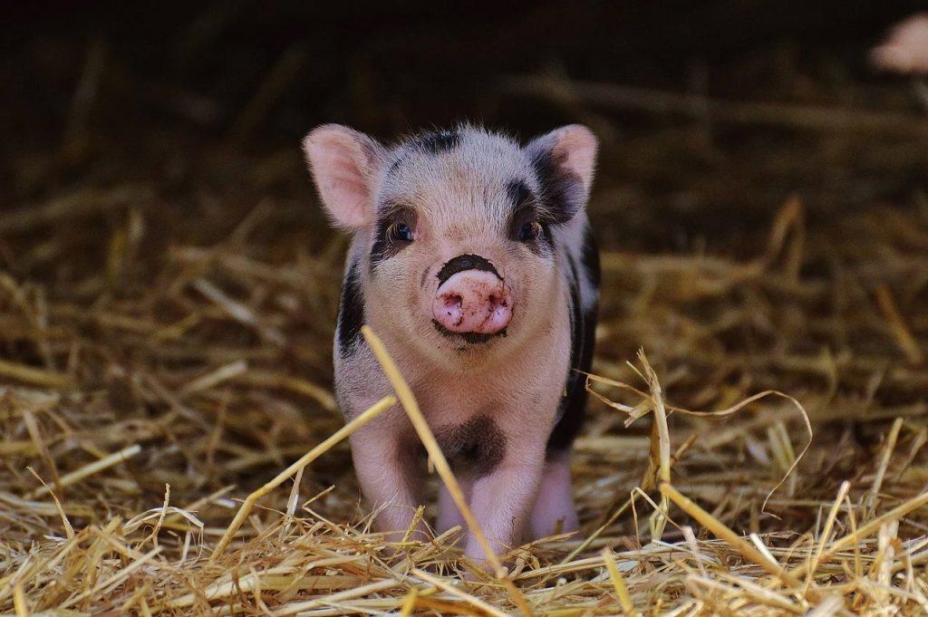 Cercetătorii ungari dezbat dacă nu cumva porcii sunt mai bune animale de companie decât câinii