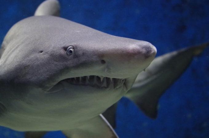Paleontologul sibian Nicolae Trif, singurul specialist în rechini fosili din România