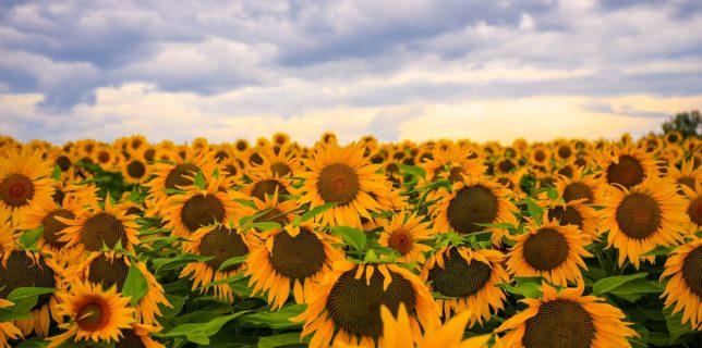 România rămâne cel mai mare producător de floarea-soarelui din Uniunea Europeană