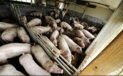 Satu Mare: Autoritățile sunt în alertă, după depistarea pestei porcine africane la 20 de km de frontiera cu Ucraina
