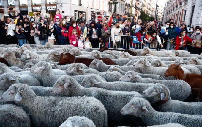 Spectacolul transhumanţei la Madrid: Turme de oi au traversat capitala Spaniei în drumul lor spre păşunile de iernat