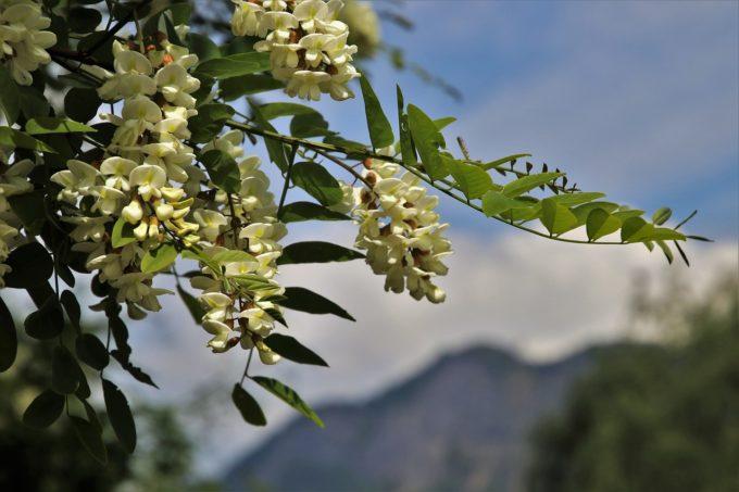 Giurgiu: Secretul gogoşelelor aromate cu flori de salcâm - reţetă păstrată de la bunici