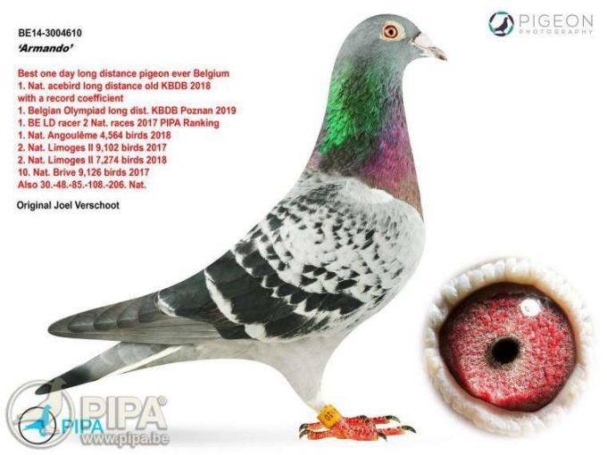 Un porumbel voiajor a fost vândut cu 1,25 milioane de euro în Belgia, un record mondial