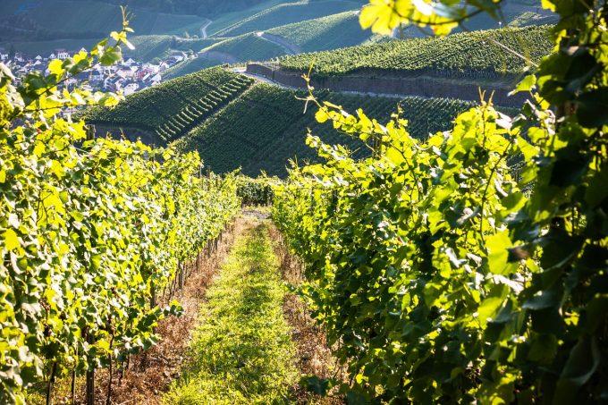 Un viticultor italian a decis să închirieze un avion privat pentru a-şi aduce din România o echipă de femei