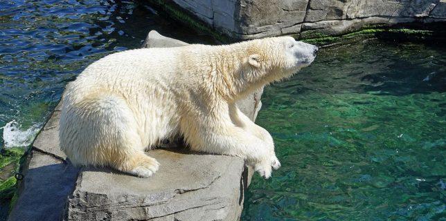 Urşii polari se îndreaptă spre extincţie până în 2100 (studiu)