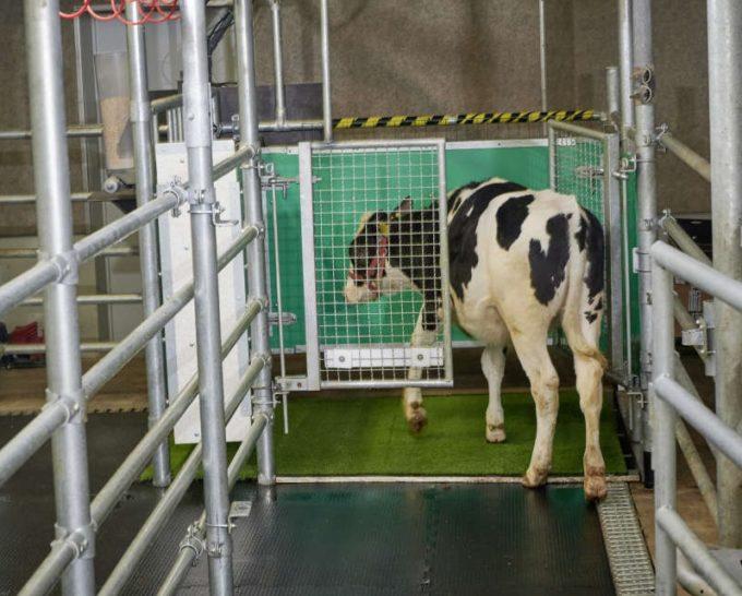 Vacile, învăţate să meargă la toaletă pentru a reduce emisiile de gaze cu efect de seră (AFP)
