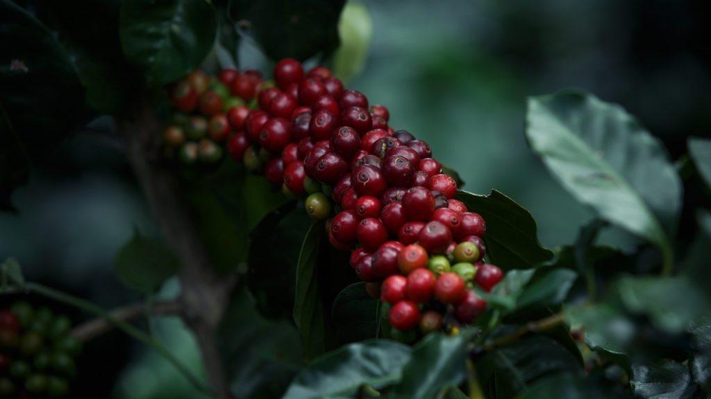 Viitorul cafelei, ameninţat de schimbările climatice, ar putea fi asigurat prin redescoperirea unei specii uitate (studiu)