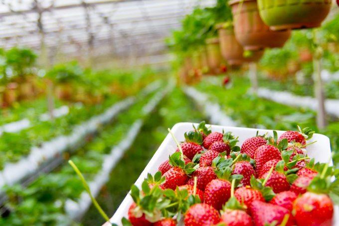 În atenția cetățenilor români din Spania, care sunt interesați să lucreze în sectorul agricol